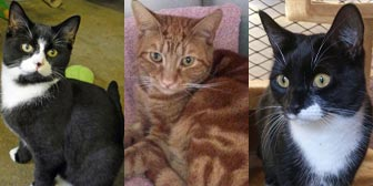 Three rescue cats from National Animal Welfare Trust, Thurrock, Essex, homed through Cat Chat