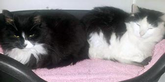 Rescue cats Rosie and Jim from Peterborough Cat Rescue, homed through Cat Chat