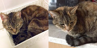 Two tabby cats homed through Cat Cat from All animal rescue, Southampton