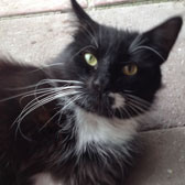 Black and white rescue cat Fred, homed through Cat Chat from Burton Joyce cat Welfare