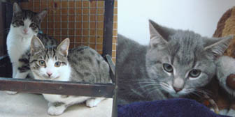 Tabby kittens from Marjorie Nash Cat Rescue, Amersham, homed through Cat Chat
