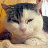 Rescue cat Mr Bradley Walsh from Bromley and District Cat Rescue, Bromley, homed through Cat Chat