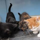 Rescue cats The Fab Four from Ann & Bill's Cat & Kitten Rescue, Hornchurch, homed through Cat Chat