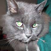 Gizmo from Whinnybank Cat Sanctuary, Newburgh, homed through Cat Chat