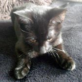 Rescued kitten Archie from Consett Cats Co. Durham, homed through Cat Chat
