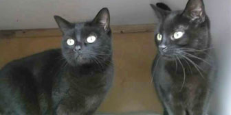 pair of rescued black cats homed nottingham