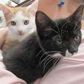Two rescued kittens from Ann & Bill's Cat & Kitten Rescue, Hornchurch, homed through Cat Chat