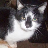 Rescue cat Jasper from Burton-upon-Stather Cat Rescue, Scunthorpe, homed through Cat Chat