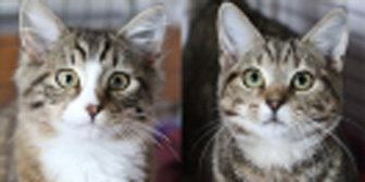 Monty and Ambrose from South Oxhey Animal Rescue, Watford, homed through Cat Chat