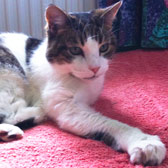 Rescue cat Gertie from 8 Lives Cat Rescue, Sheffield, homed through Cat Chat