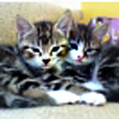 Joshua and Jacob from 8 Lives Cat Rescue, Sheffield, homed through Cat Chat