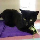Troy/Percy from Mitzi's Kitty Corner, Totnes, homed through Cat Chat