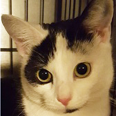 Yoyo, from Cat & Kitten Rescue, Watford, homed through Cat Chat