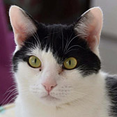 Shadow from Cat Welfare, Luton and Little Cottage Rescue, Luton, homed through Cat Chat
