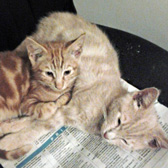 Ginger Biscuit & Custard Cream from Feline Friends Rehoming, Medway, homed through Cat Chat