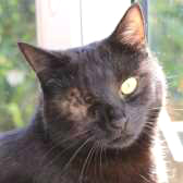 Star from Cat Action Trust 1977 - Doncaster South, Doncaster, homed through Cat Chat