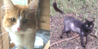Giles & Adele from Burton Joyce Cat Welface, Nottingham, homed through Cat Chat