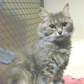 Smokey from National Animal Welfare Trust, Thurrock, homed through Cat Chat