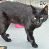 Blackie, from Thanet Cat Club, Broadstairs, homed through Cat Chat