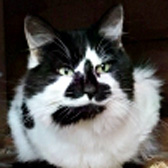 Cookie, from Lucky Cat Rescue, Skegness, homed through Cat Chat