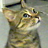 Dior, from Cat Homing & Rescue, Warrington, homed through Cat Chat