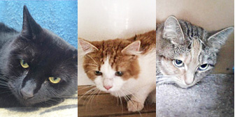 Lulu, Gizmo, Ruby and more, from Kirkby Cats Home, Nottingham, homed through Cat Chat
