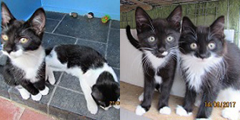 Alice's kittens, George & Mildred, from Ann & Bill's Cat & Kitten Rescue, Hornchurch, homed through Cat Chat