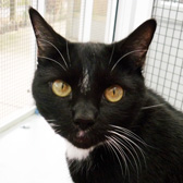Socks, from Thanet Cat Club, Broadstairs, homed through Cat Chat
