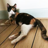 Caramel, from 8 Lives Cat Rescue, Sheffield, homed through Cat Chat