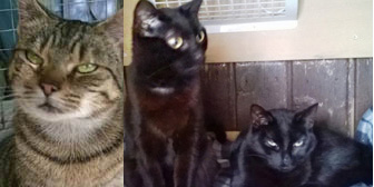 Sparkle, Link & Zelda, from Burton-upon-Stather Cat Rescue, Scunthorpe, homed through Cat Chat