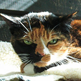 Dolly from Paws & Claws Animal Rescue Service, homed through Cat Chat