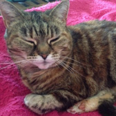 Rescue cat Mushka from Cats in Distress, Frome, Somerset, homed through Cat Chat