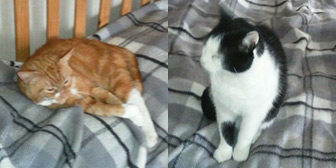 Sephton & Ginger from Kathy's Cat Rescue, homed through Cat Chat