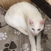 Watson from Cat Concern, homed through Cat Chat