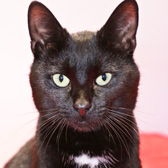 Shadow, from Anim-mates, Sevenoaks, homed through Cat Chat