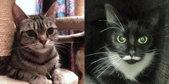 Tyga & Belle, from 8 Lives Cat Rescue, Sheffield, homed through Cat Chat