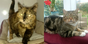 Milly & Winston from Cat Homing and Rescue (CHAR) Warrington homed through Cat Chat