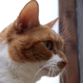 Ninja from Aylesbury Cat Rescue, Bucks homed through Cat Chat