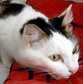 Pebbles from Angus Cat Rescue, homed through Cat Chat