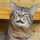 Stan from Rugeley Cats Society, homed through Cat Chat
