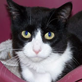 Chad, from Cat Rescue, Chippenham, homed through Cat Chat