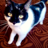 Trudy, from Lancashire Paws Cat Rescue, homed through CatChat