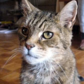 tabby cat homed bromley & district cat rescue