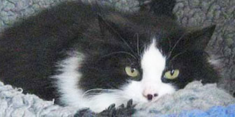 black and white cat homed from Tain cats protection