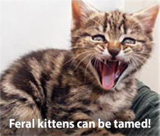 Feral kittens can be tamed