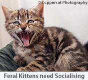 Feral Kittens need Socialising for rehoming