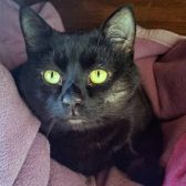 Rescue cat Del Boy, from Four Paws Cat Rescue, Oxford, needs a home