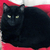 Rescue cat Jane, from National Animal Welfare Trust, Thurrock, Essex, needs a home