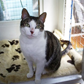 Rescue cat Mr Darcy from Cat Homing and Rescue, Warrington, needs a new home
