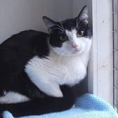 Rescue cat Lionel from RSPCA - Southend-on-Sea, Essex needs home